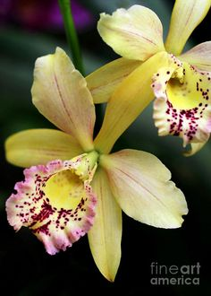 Yellow orchid image by Sabrina L Ryan