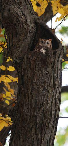 seasonaljoy:  Fresh Pond Owl by hbp_pix on Flickr.