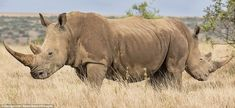 Mirror image: Two wide rhinos organised back-to-back seem to be the rarest creature in Laikipia, Kenya, in March 2015