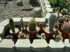 Thing 1, Cacti And Succulents, Garden Ideas, Cactus, Planter Pots, Collection, Prickly Pear Cactus, Backyard Ideas, Plant Pots