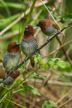 """Handsome trio of spice finch - """"And I said to her, 'if you think I'm paying a dime over $7 for that, you are cuckoo!'"""" ;-)"""