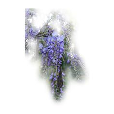 PolyBlogger wisteria ❤ liked on Polyvore featuring flowers and garden