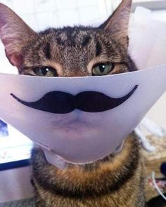 If my cats ever need a cone this is how we will do it--  CatStache!