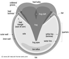 Diagram of a healthy horse hoof  © www.all-natural-horse-care.com  Learn about horses hooves and Laminitis in horses - http://www.all-natural-horse-care.com/laminitis-in-horses.html