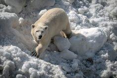 Jääkarhunpentu innostui leikkimään lumessa. Pennulla ei ole vielä nimeä, mutta nimikilpailuun voi osallistua elokuun loppuun asti. Ristiäisiä vietetään 3. syyskuuta.