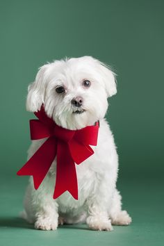Maltese in red bow #sponsored #PetSmartGrooming @petsmartcorp Photo by © Alice G Patterson Photography