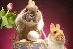 Quando eu era criança não entendia muito bem a Páscoa. Só adorava procurar os ovinhos de  chocolate que o coelhinho escondia.   Mas, o que tem a ver coelho com ovos, seus símbolos, com a ressurreição de Jesus ou a fuga dos hebreus do Egito comandada por Moisés?  Agora sei qual a relação de tudo isto. Os ovos são o símbolo do nascimento. Ali dentro, uma vida por vir ao mundo.   É o eterno milagre da vida que renasce todos os dias. O coelho é o animal que se reproduz com uma velocidade ...