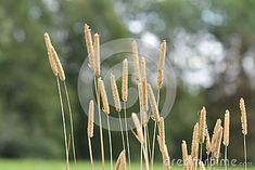 Photo about Yellow grass straw in focus, with trees in backgrund. Image of nature, hedmark, norway - 122695422