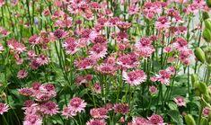 Astrantias are great plants for summer borders and ever-popular slug-proof cottage-garden perennials. Astrantias thrive in light shade and damp soil. #gardenforbeginnerslayout