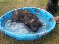 Bouvier de Flandres...my Finn had a pool and just loved it!  Big water dogs:)