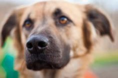 Lincoln is an adoptable Australian Shepherd Dog in Hopkinton, MA. Meet Lincoln. He is a 3yo Aussie/Golden mix looking for his forever home. He is a wonderful boy who is a quick learner and does his be...