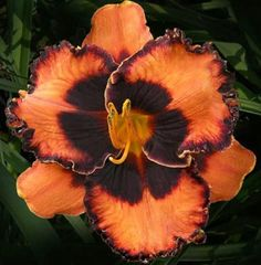 Halloween Kisses Daylilly