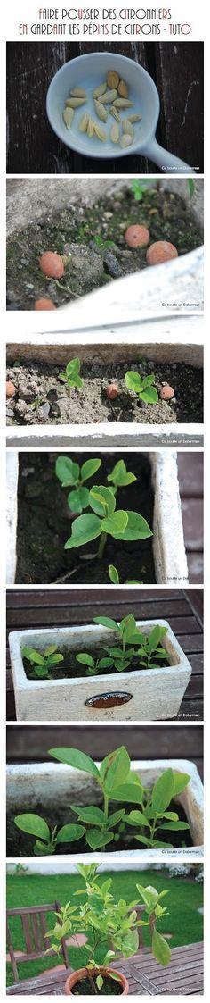 Comment obtenir de beaux Citronniers en gardant les pépins de Citrons How to grow lemon tree from seeds