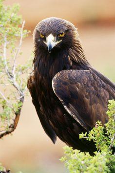 Golden Eagle (Aquila chrysaetos). Controlled conditions. Wildlife model near…