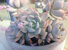 xGraptophytum Supreme starting to flower - July