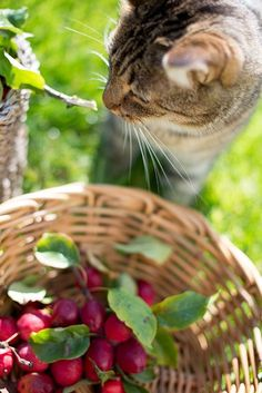 Radish food be terribles. Me tried a nibbles once. Crazy Cat Lady, Crazy Cats, Country Life, Country Living, Country Style, Red Farmhouse, Apple Farm, Here Kitty Kitty, Kitty Cats