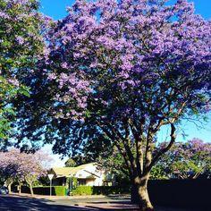 Jacaranda time in Adelaide South Australia 2016 Adelaide Cbd, Adelaide South Australia, Australia Photos, The Neighbourhood, City, Places, The Neighborhood, Lugares, Cities