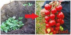 Je zadarmo a keď budete sadiť do zeme priesady, už bude určite rozrastená všade naokolo. Na túto starú metódu sadenia sa takmer zabudlo, no je veľmi prospešná a dokáže rastlinkám ohromne pomôcť a to nielen Flowers, Garten, Growing, Garden, Tomato, Farm, Plants
