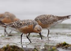 Red Knot, Identification, All About Birds - Cornell Lab of Ornithology