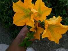 Summer time zucchini flowers.  Ripe for the kitchen.