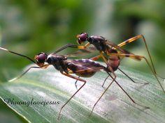 Stilt Legged Fly, Rainieria antennaepes are matting ...#1 by Vietnam Plants & America plants, via Flickr -- NOT RAINIERIA ANTENNAEPES