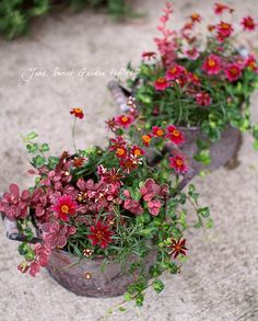 Junk sweet Garden  tef*tef* コレオプシス、プミラ『ムーンライト』低木のメギ『ローズクロー』