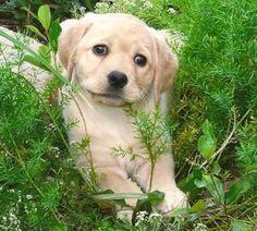 Labrador Breeders, Labrador Retriever, Labradors, Dogs, Animals, Labrador Retrievers, Animaux, Doggies, Labrador
