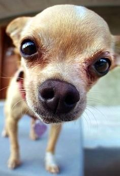Chihuahua lovers...Follow us on Facebook... https://www.facebook.com/LoveMyChihuahuaCutie