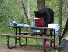 Anything But Ordinary: Camping With a Bear is No Fun!