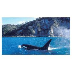 Orca (Killer Whale) cruising along the coast