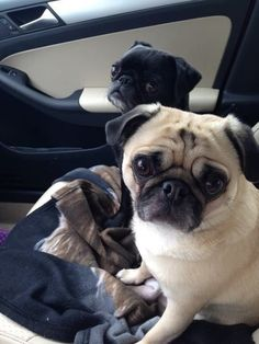 e1c5de334 The 12 Most Pug Things That Have Ever Happened In The History Of Pugs Cute  Pugs