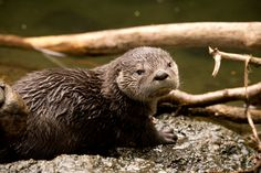 Baby Otter Learning to Swim at Oregon Zoo