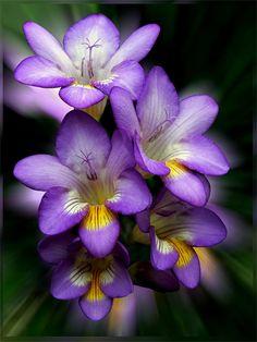 Freesia hybrid cultivar. Originally from South Africa; now a popular garden and florist's choice.
