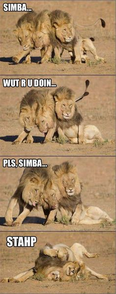 Drunk Lions…