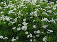 Great for shade. Sweet Woodruff. Galium odoratum.