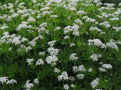 Great for shade. Sweet Woodruff. Galium odoratum.