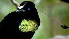 birds of paradise - Google Search