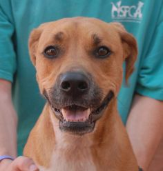 Bailey is blessed with tremendous charm. He loves meeting new people and building ever-stronger bonds with those he already knows. Bailey is good with other dogs and we believe he has the temperament to be exceptional with children. He is a good-looking Hound & Retriever mix, 2 years young, neutered, and debuting for adoption today at Nevada SPCA (www.nevadaspca.org). Bailey was at another shelter that ran out of space.