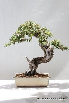 Antoni Payeras phillyrea-latifolia