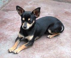 Perros Chihuahua | Cupones, descuentos, promociones. Más de 6.000 artículos rebajados