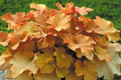 """heuchera caramel grow to 18"""" tall and wide needs partial sun or shade pinkish flower in spring Interesting color - would brighten up the north side of the house with background color of the dark brick"""