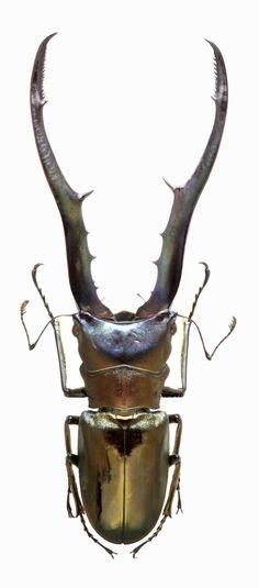 Cyclommatus metallifer - vma.