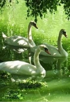 Wonderful to come across some graceful swans!