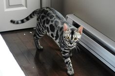 Looking for a charcoal bengal kitten to adopt? Say no more:visit our website to fall in love with one of our charcoal bengal cats available for adoption! White Kittens For Sale, Kitten For Sale, White Cats, Fluffy Kittens, Cats And Kittens, Ragdoll Kittens, Kitty Cats, Tortoiseshell Tabby, Bengal Kitten