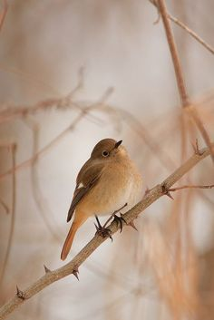 raspberrytart: Daurian Redstart by damselfly-eye. Pretty Birds, Beautiful Birds, Beautiful World, Shades Of Peach, Little Birds, Bird Watching, Peach Colors, Color Themes, Bird Feathers