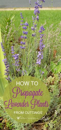How to Propagate Lavender Plants | Propagating lavender is easy. Plus, once you learn how to propagate lavender plants from your garden, you'll be able to grow as much lavender as you want! #FlowerGardening