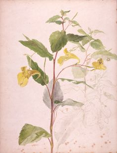 Beatrix Potter Botanical Drawings | Beatrix Potter, Wild yellow balsam, about 1900. © Frederick Warne ...