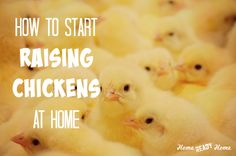 Here is what you need to do before you start raising chickens plus 5 chick buying tips. Types Of Chickens, Keeping Chickens, Raising Chickens, Backyard Poultry, Backyard Chicken Coops, Chickens Backyard, Chicken Coop Blueprints, Easy Chicken Coop, Baby Chickens