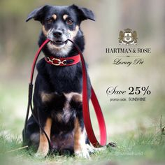 SAVE 25% on the Worlds Finest Dog Collars, leads & more. Offered at www.hartmanandrose.com. Code: SUNSHINE. This is Bella.  This little sweetheart lives in Germany and is wearing the Hartman in Ferrari red, black & nickel.  Follow her on Instagram @hansehund