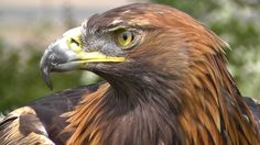 Golden Eagle - Bird of Prey - Spectacular Close Up of Natures Hunting Ma...